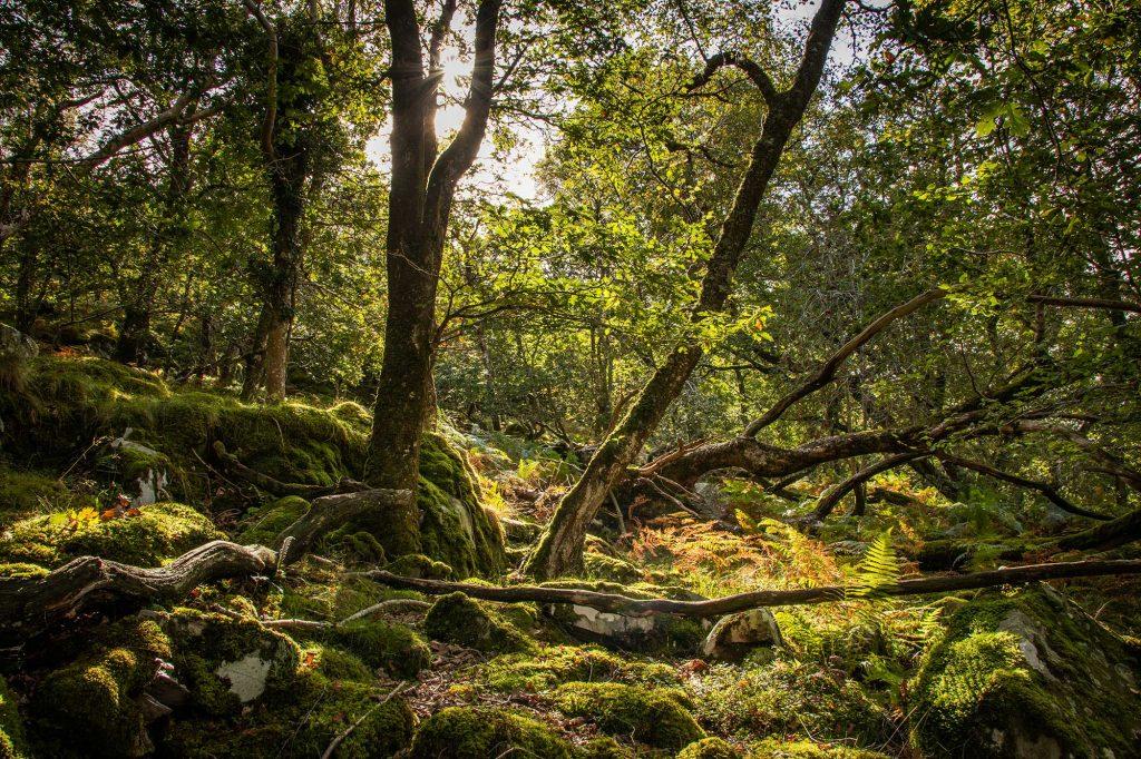 *ancient oak woods